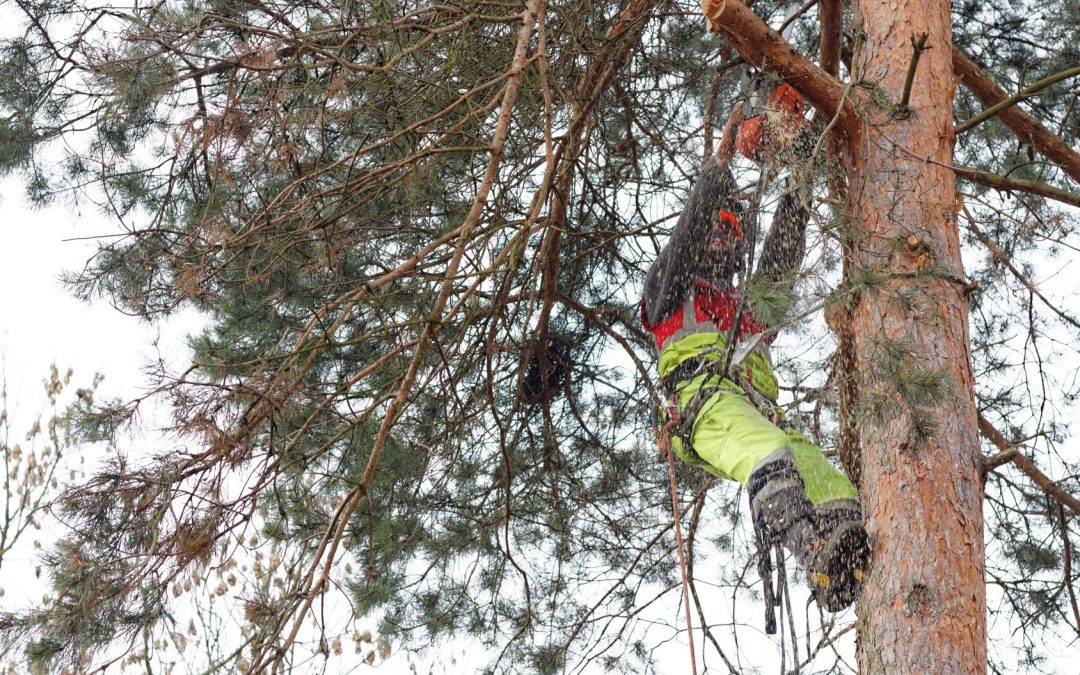 Ścinanie drzewa metodą alpinistyczną